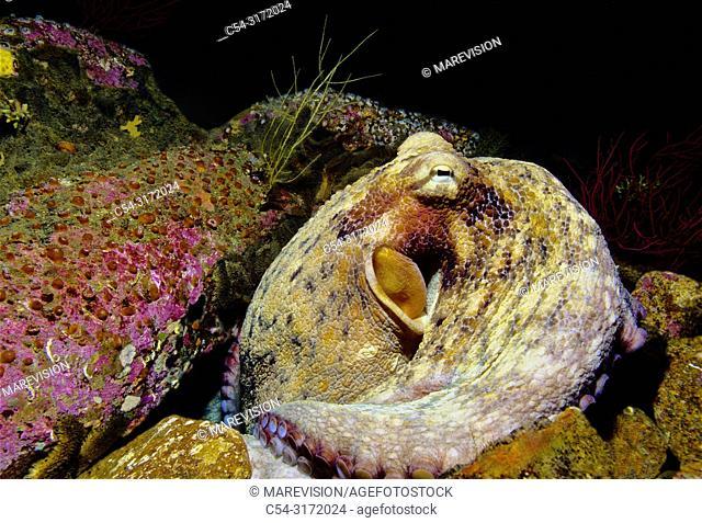 Common octopus in his den. (Octopus vulgaris). Eastern Atlantic. Galicia. Spain. Europe