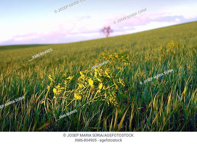 primer plano de malla hierba en un campo de alfalfa en primavera