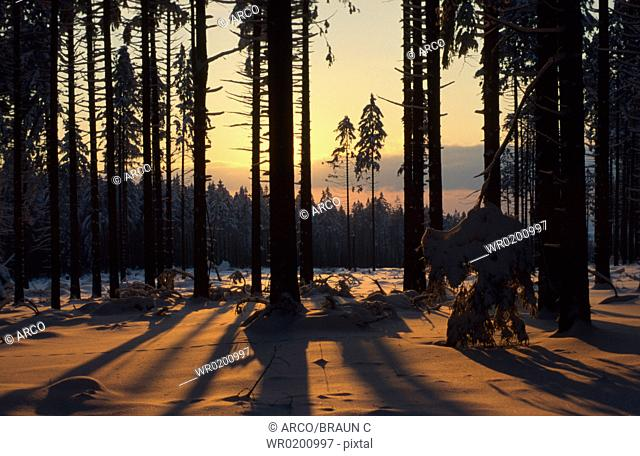 Coniferous, forest, in, winter, Rhineland-Palatinate, Germany