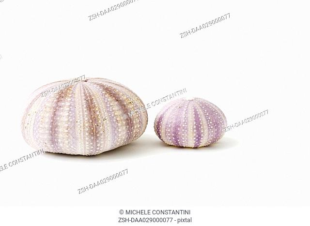 Dried sea urchin shells
