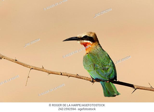 White-fronted bee-eater (Merops bullockoides). Kruger National Park. Mpumalanga. South Africa