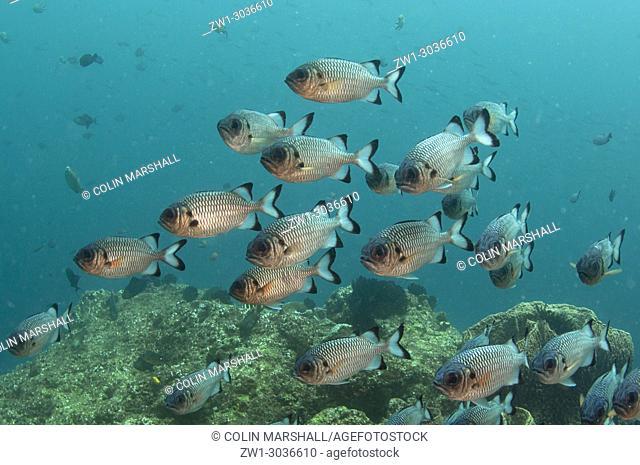 School of Shadowfin Soldierfish (Myripristis adusta), Blue Magic dive site, Dampier Straits, Raja Ampat, West Papua, Indonesia
