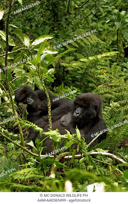 Mountain Gorilla (Gorilla gorilla beringei) Umubano Group, Volcanoes National Park, Rwanda, family in day nest