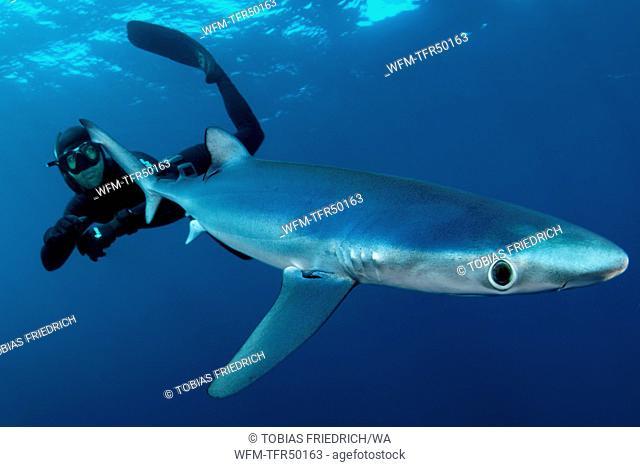 Freediver and Blue Shark, Prionace glauca, False Bay, Atlantic Ocean, South Africa
