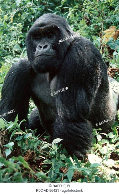Mountain Gorilla silverback Djomba Zaire Congo Gorilla gorilla beringei