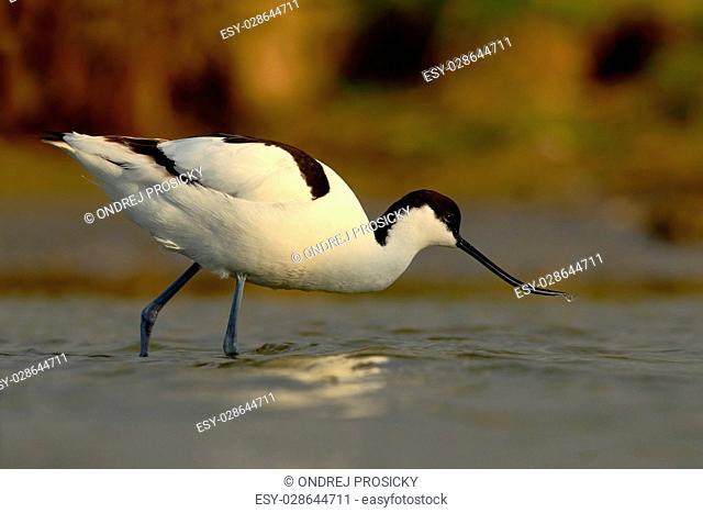 Black and white wader bird Pied Avocet, Recurvirostra avosetta