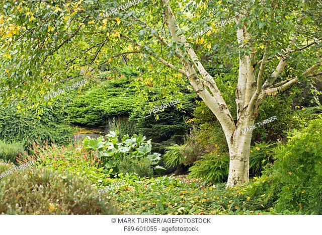 White-barked Himalayan Birch w/ Royal Fern beneath (Betula utilis var. jacquemontii; Osmunda regalis). Van Dusen, Vancouver, BC