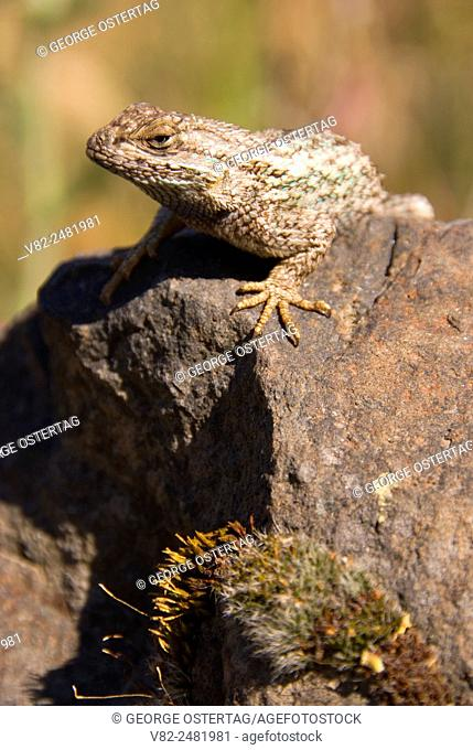 Lizard along Trout Creek Trail, Deschutes Wild & Scenic River, Prineville District Bureau of Land Management, Oregon