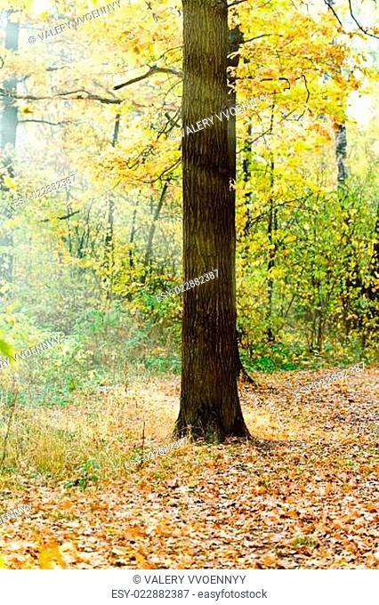 sun rays lit oak in autumn forest