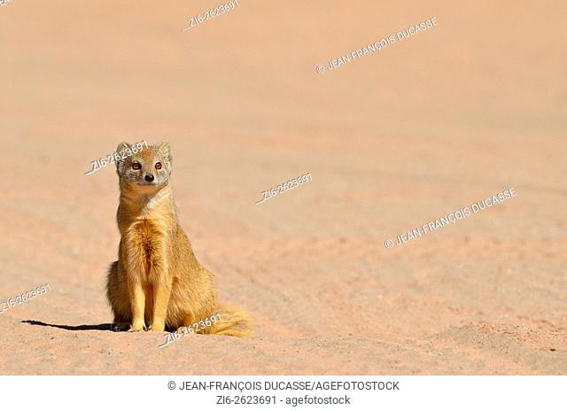 Yellow mongoose (Cynictis penicillata), adult sitting on red ground, attentive, Kgalagadi Transfrontier Park, Northern Cape, South Africa, Africa