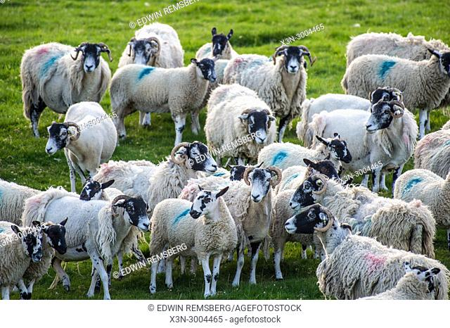 Flock of sheep stand in pasture, Yorkshire Dales, UK