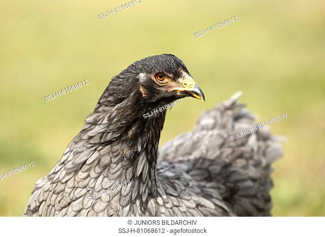 Domestic Chicken, breed: Partridge Brahma. Portrait of a hen. Germany