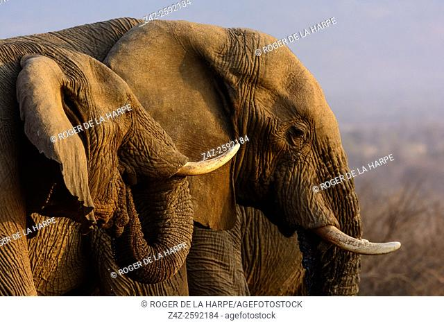 African bush elephant (Loxodonta africana) drinking. Madikwe Game Reserve. North West Province. South Africa