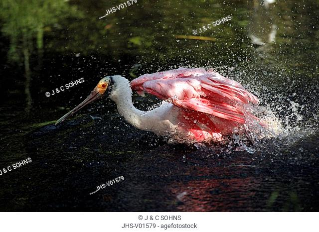 Roseate Spoonbill,Ajaia ajaja,USA,adult in water cleaning feathers
