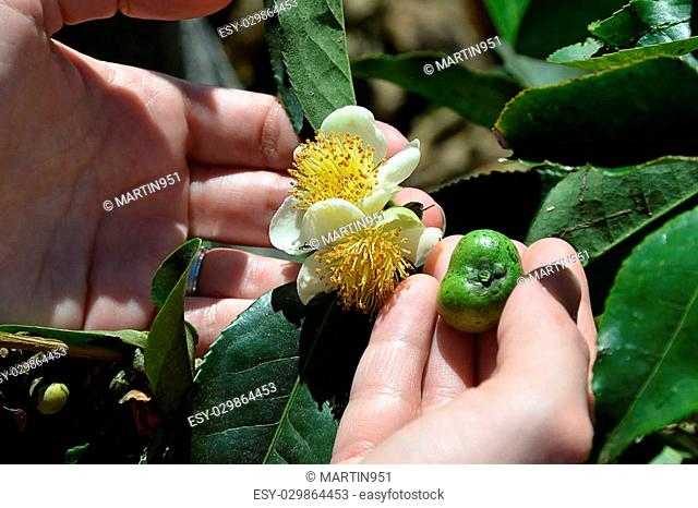 green tea plant flower and fetus on the plant in woman hands