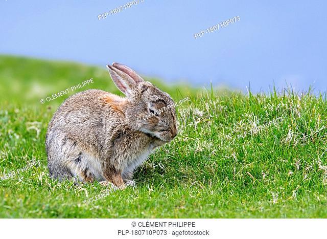 European rabbit (Oryctolagus cuniculus) grooming fur of foreleg in meadow