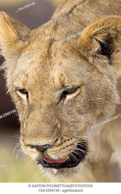 African lion (Panthera leo) -Female, Savuti, Chobe National Park, Botswana
