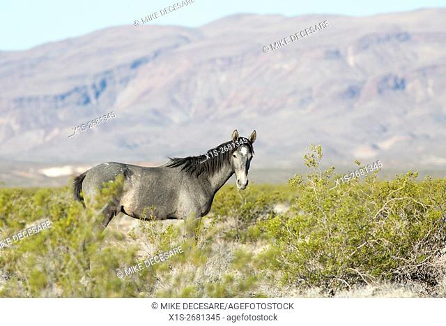 A beautiful grey stallion roams free as a protected wild horse