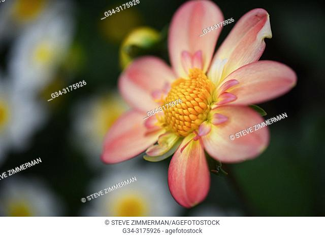Dahlia. Bellevue, Washington, USA