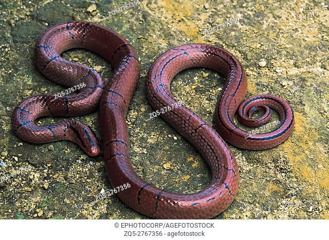 Elaphe Porphyracea Porphyracea. Red Bamboo Rat snake. Non venomous. Arunachal Pradesh, India