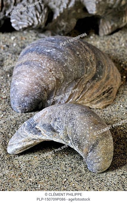 Devil's toenail or Gryphaea dilatata / Gryphea dilatata, species of Jurassic oyster, Gryphaeidae marine bivalve mollusc found in Vaches Noires, Normandy, France