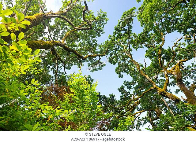 Garry Oak (Quercus garryana) canopy on a blue sky day, Vancouver Island, British Columbia