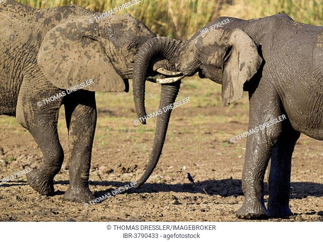 African Elephants (Loxodonta africana), two bulls fighting, Kruger National Park, South Africa