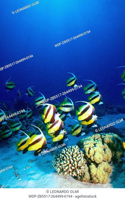 Egypt, Red Sea, Hurghada, school of bunnerfish (Heniochus intermedius) on hard corals formation (Favia stelligera and Pocillopora verrucosa)