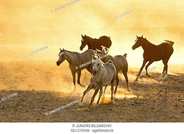 Arabian Horse. Herd galloping in the desert in evening light. Egypt