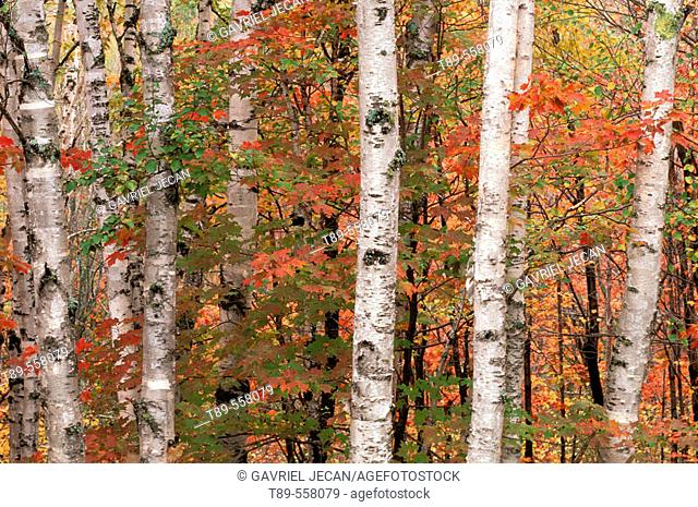 NA, USA, Minnesota. Noth shore of Lake Superior. Maples (Acer sp.) and Birch forest