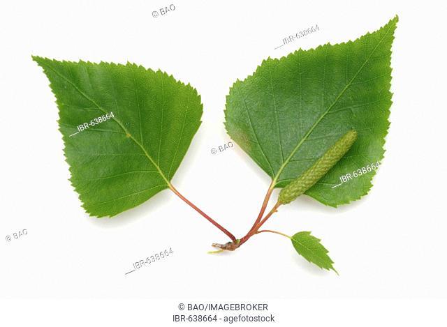 Silver Birch, European Weeping Birch or European White Birch (Betula pendula) leaves