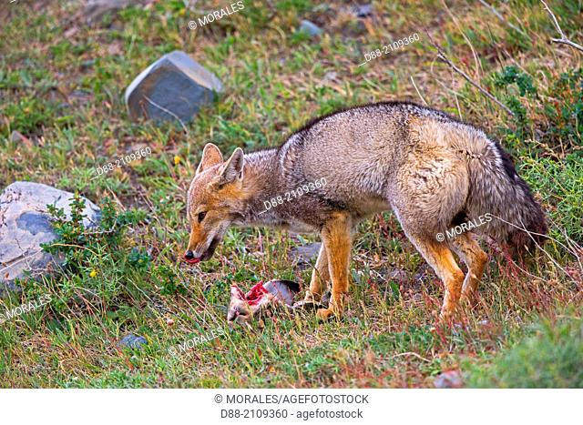 Chile, Patagonia, Magellan Region, Torres del Paine National Park, South American gray fox (Lycalopex griseus), also known as the Patagonian fox