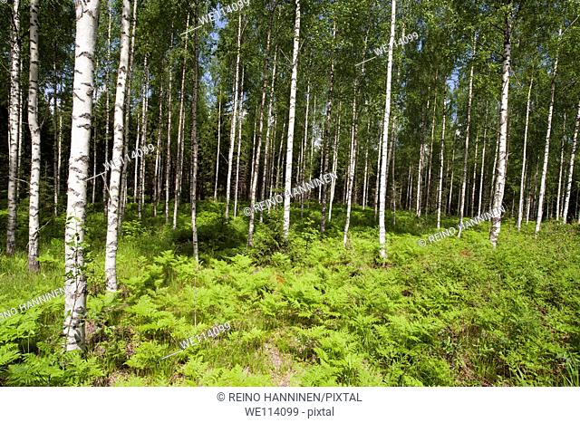 Young birch , betula , forest at Spring, location Tervanen Suonenjoki Finland Scandinavia Europe