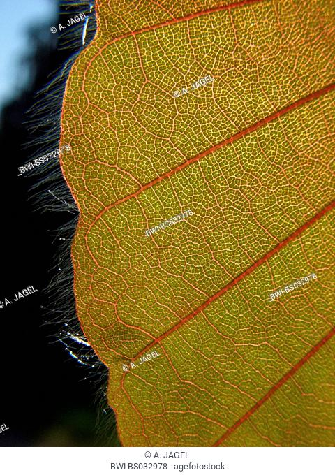 common beech (Fagus sylvatica), cv. Purpurea: leaf margin in backlight