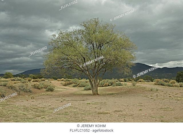 Lone desert tree on a late autumn afternoon, Santa Fe, Nex Mexico, USA