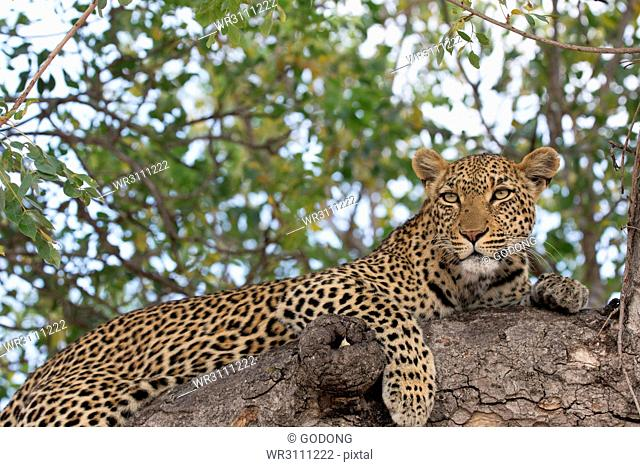 Leopard (Panthera pardus) on a branch of a tree, Kruger National Park, South Africa, Africa