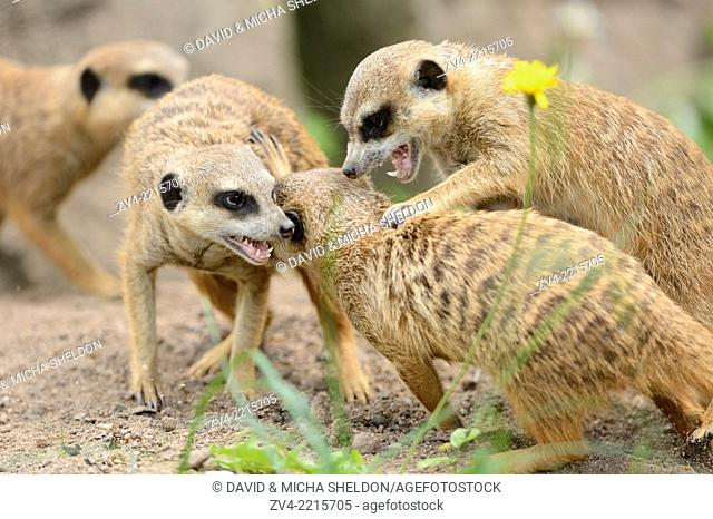 Close-up of a group of playing meerkat or suricate (Suricata suricatta) in spring