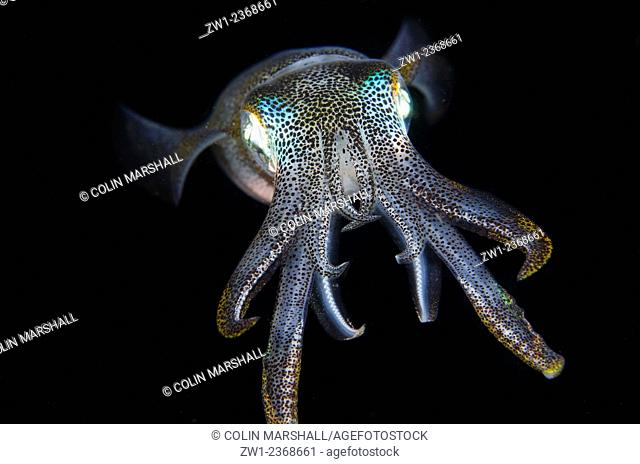 Bigfin Reef Squid (Sepioteuthis lessoniana) at night, Night dive, Jahir dive site, Lembeh Straits, Sulawesi, Indonesia