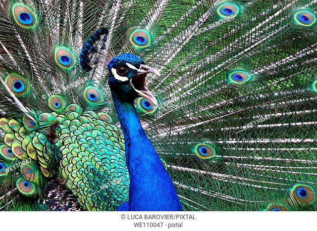 Pavo cristatus - Peacock scream