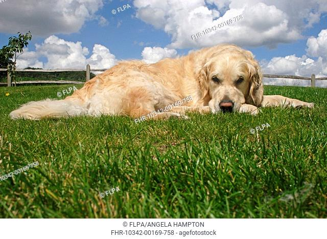 Domestic Dog, Golden Retriever, adult, laying on lawn, England