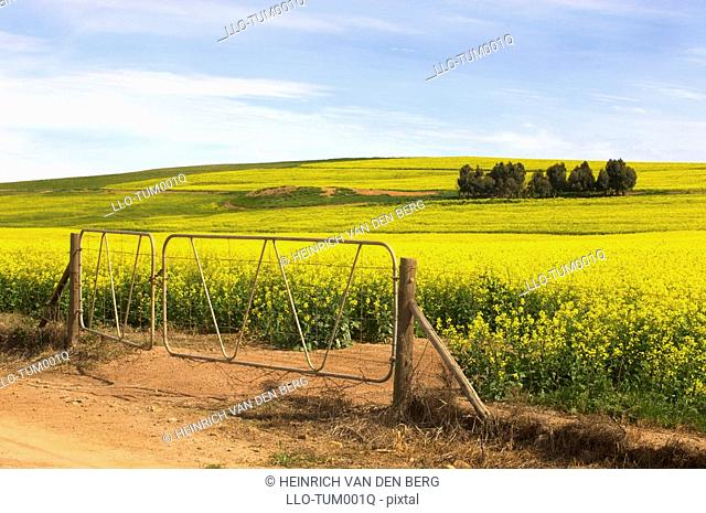 View of Canola Rapeseed fields and farm gate, Overberg Region, Western Cape Province, South Africa