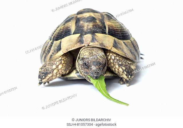 Hermanns Tortoise (Testudo hermanni) eating a Dandelion leaf. Studio picture against a white background. Germany