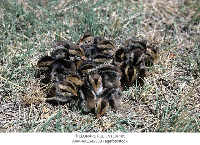 Bobwhite Quail, Newly Hatched Chicks