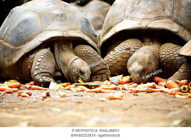 Two giant turtles eating vegetables