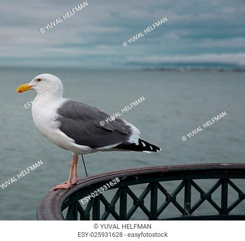 A common winter gull of the West Coast, the California Gull breeds inland across large areas of the West. It can be found in parking lots and lakes from...