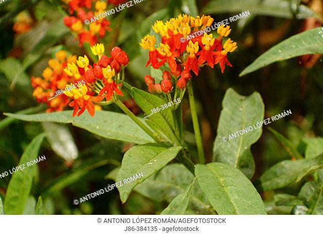 Bloodflower (aka Silkweed, Indian Root) (Asclepias curassavica)