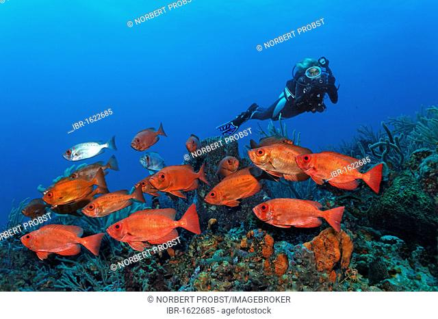 Scub diver with an underwater camera, underwater photographer, shoal of Red Bigeye (Priacanthus hamrur) swimming over a coral reef, Little Tobago, Speyside