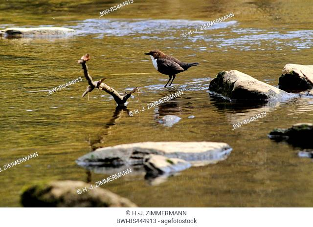 dipper (Cinclus cinclus), standing in shallow water, side view, Germany, Rhineland-Palatinate