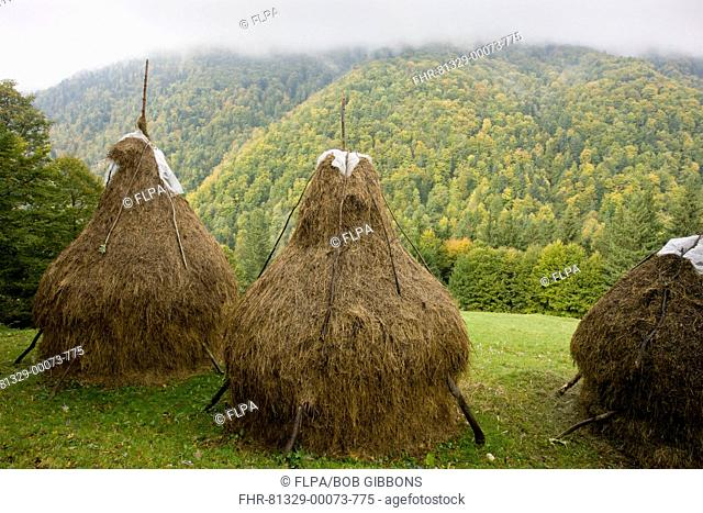 View of hay stooks, with autumn crocus flowers in meadow, autumnal mixed woodland on mountain slopes, Piatra Craiulu Mountains, Carpathians, Romania, october