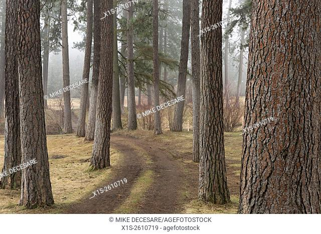 Ponderosa pine trees line a path through the Arboretum in Spokane, Washington